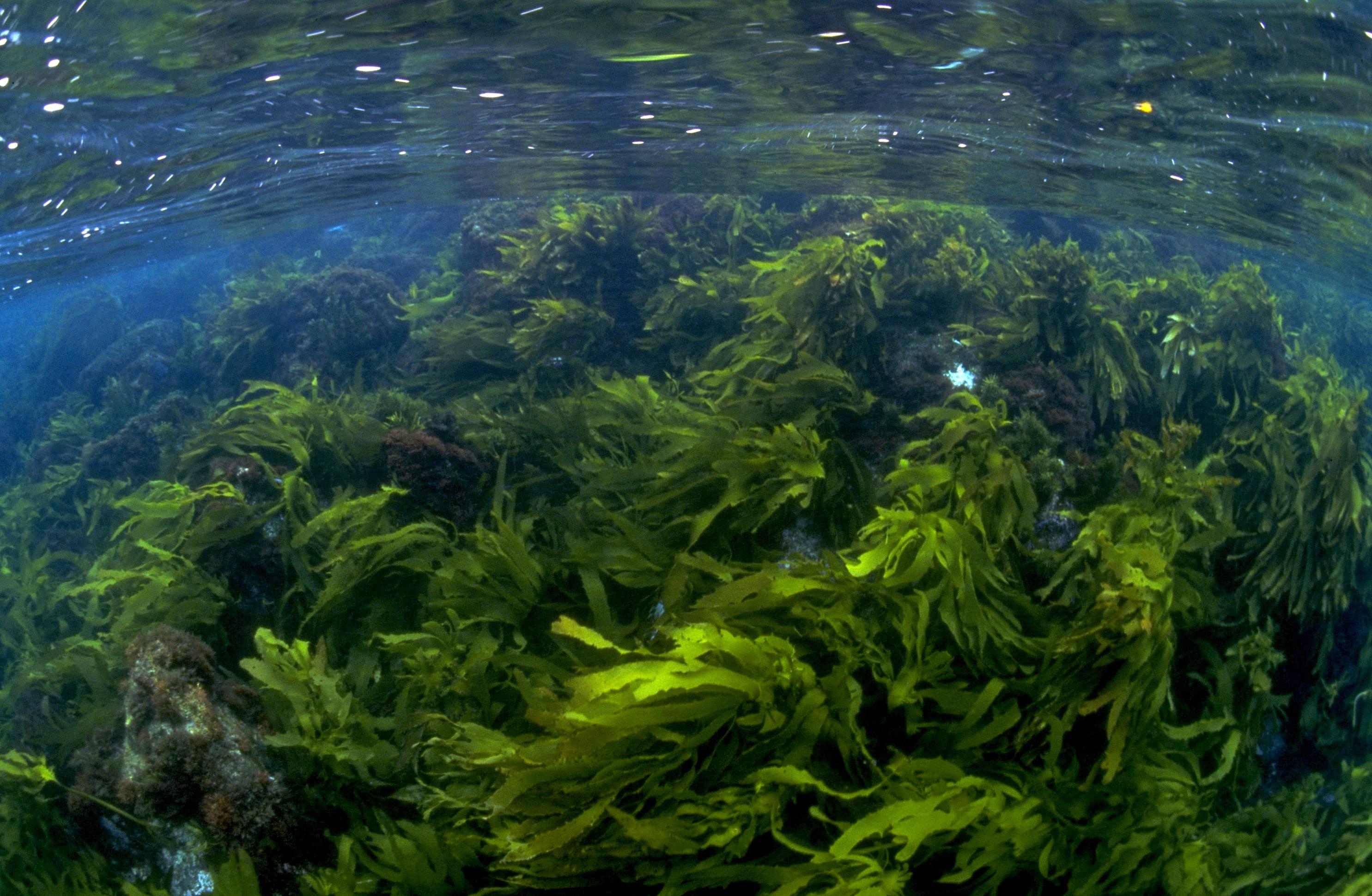 Ecklonia radiata (Leather Kelp), Pope's Eye. Photographer: Mary Malloy